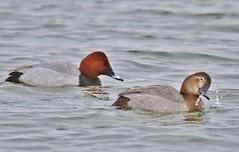 Mr and Mrs Pochard (GrahamParryWildlife) Tags: red lake kent ducks dungeness rspb mrandmrs canon7dmk2 sigma150600sport grahamparrywildlife sigmasport150600