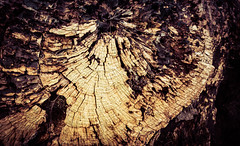 Fallen tree P1020556 (darrenhendley) Tags: wood tree texture bark trunk rotten decated