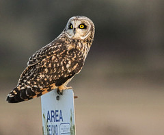 Rare Visitor (Team Hymas) Tags: washington short eared shortearedowl asioflammeus ridgefieldwildliferefuge