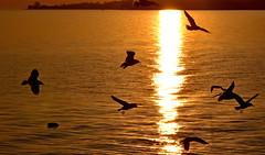 Silmouettes ... (Diegojack) Tags: soleil nikon lumire vol extrieur contrejour couchant oiseaux mouettes cuivre d7200