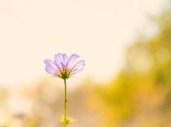MG_0035CosmosCC (918monty) Tags: plant floral yellow botanical dallas petals texas blossom pastel sunlit photoart heavenly cosmos springtime dallasarboretum flowerart transluscence arboretums adobelightroom adobecreativecloud