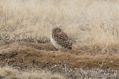 Napping Burrowing Owl
