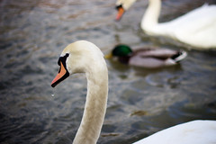 Swan (cchana) Tags: orange white bird water birds thames swimming river swan beak windsor