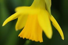Yellow Trumpet (acwills2014) Tags: macro sunshine yellow lemon trumpet daffodil macromonday