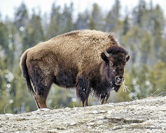 Yellowstone park (Pattys-photos) Tags: park yellowstone bison