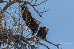 Bald Eagles copulating sequence - 1 of 28