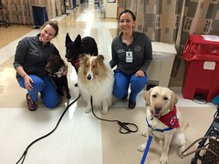 Calvin at WRNMMC with hospital staff and RC therapy dog pack (Bear, Rika & Scotty) (hero dogs) Tags: dog cute labrador calvin therapydog wrnmmc herodogcalvin