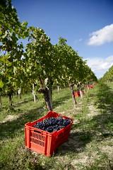 Langhe, Piemonte (--Eli--) Tags: wine alba natura piemonte bianca uva settembre vigne barbaresco vino barolo vendemmia barbera langhe rossa viti roero nebbiolo dolcetto enogastronomia vitigni