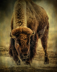 Yellowstone park (Pattys-photos) Tags: park winter yellowstone bison pattypickett