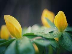 Winterlinge (VintageLensLover) Tags: bokeh gelb domiplan winterlinge naturfrühling