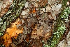 Nature's art... (RKAMARI) Tags: abstract tree art texture nature closeup pine saturated colorful colours patterns bark contemplative miksang bolu yedigller