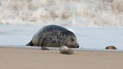 Grey Seal Pup - in the surf - Winterton Beach (Clive_Bushnell) Tags: uk winter sea slr beach nature digital canon eos grey coast seaside wildlife north norfolk gray atlantic telephoto seal british clive winterton bushnell wintertononsea halichoerus grypus canoneos1diii clivebushnell ef300mm28is wintertononseacoastgreysealmamalsnaturesealsukwinter britishmarinewildlife