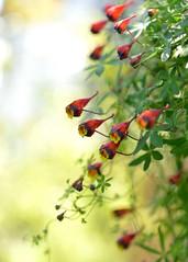 Tropaeolum tricolor (myu-myu) Tags: plant flower japan nikon outdoor tropaeolum mygarden  d800 tropaeolumtricolor