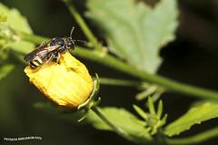 Abeja o Avispa ? (pniselba) Tags: bug buenosaires bicho reserva provinciadebuenosaires vicentelopez reservaecologicadevicentelopez