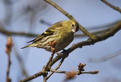 Siskin (Prank F) Tags: bird nature wildlife sandy finch siskin thelodge rspb bedfordshireuk