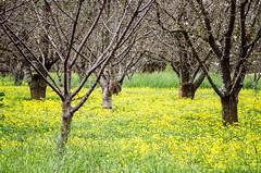 Cherry field (Bruce_of_Oz) Tags: cherry blossom kodak voigtlander 400uc bessamatic cherryorchard 1354 dynarex