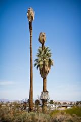 Mr. and Mrs. (Ron Rothbart) Tags: california trees funny palmtrees oasis twentyninepalms joshuatreenationalpark deadtrees oasisofmara