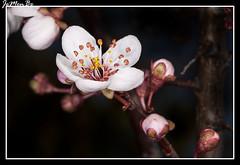 Ciruelo (Prunus mume) (jemonbe) Tags: flor ume fruto ciruelo prunusmume jemonbe