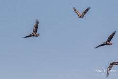 Juvenile Bald Eagle tries to steal away a fish - sequence - 9 of 9