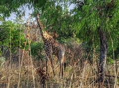 Giraffe, Fathala Reserve, Senegal (**Anik Messier**) Tags: africa nature animals reserve safari camouflage giraffe senegal animaux afrique wildness rserve snral
