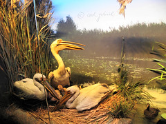 "Diorama with pelicans in ""Grigore Antipa"" natural history museum in Bucharest (cod_gabriel) Tags: museum stuffed pelican taxidermy romania stuffedanimal stuffedanimals naturalhistorymuseum bucharest diorama bucuresti bukarest roumanie boekarest bucarest muzeu romnia bucureti antipa bucareste grigoreantipa dioram mpiat muzeudeistorienatural"