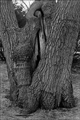 Untitled-2 (Eric Hartke) Tags: trees winter blackandwhite toronto highpark ilfordxp2 nikkormat ftn filmisnotdead