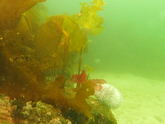 looking rather green down there (richie rocket) Tags: scotland urchin westerross camasaneilean
