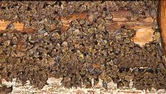 Bats (Zahoor-Salmi) Tags: camera pakistan macro nature birds animals canon lens photo tv google flickr natural action wildlife watch bbc punjab wwf salmi walpapers chanals discovry beutty bhalwal zahoorsalmi