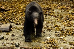 Black Bear (Ursus americanus) (Jeffrey Jang Photography) Tags: ca canada jeff nature animal mammal nikon britishcolumbia wildlife jeffrey blackbear jang naturephotography ursusamericanus telegraphcove wildlifephotography d810 jeffreyjangphotography m117822015