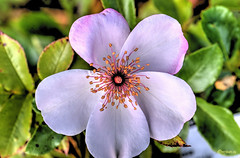 JDS-JVA_8708_09_10_11_12_tonemapped (mrjean.eu) Tags: flowers flower macro fleur rose fleurs plante garden nikon jardin pistil petale 105mm28