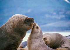 Love is in the air..... :-)) (Princessa Pea) Tags: film southamerica nature animal analog 2000 sealion pentaxmz5n fujislidefilm w6762