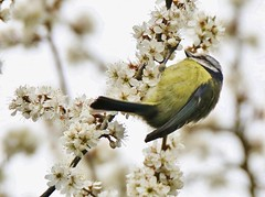 Blue Tit on wild Blackthorn (GrahamParryWildlife) Tags: new uk blue brown sunlight white flower macro tree male bird up field animal sport yellow photo kent flickr tit close outdoor song small sigma add tiny 7d mk2 viewing depth bluetit songbird plumage rspb 150600 grahamparrywildlife