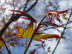 Fcher-Ahorn Austrieb (Jrg Paul Kaspari) Tags: leaves garden leaf spring maple acer blatt bltter garten acerpalmatum trier frhling palmatum petrisberg ahorn austrieb fcherahorn