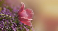 Lean on Me (charhedman) Tags: flowers macro bokeh falling tulip lean