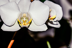 (sergiobarracoph) Tags: orchid flower 50mm nikon fullframe nikkor fx 50mm18 orchidea d610 nikond610
