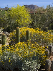 Flowers in the Cactus Garden, Arizona-Sonora Desert Museum (Distraction Limited) Tags: flowers arizona nature tucson desertmuseum arizonasonoradesertmuseum brittlebush incienso encelia asdm enceliafarinosa cactusgarden goldenhills cotx hierbadelvaso asdm20160321