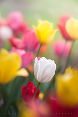 Belle La Vie (johanhakanssonphotography) Tags: life light white flower nature colors beautiful beauty field gardens print french outdoors photography spring nikon scenery bokeh canvas telephoto tulip belle botany lavie 2016 johanhakanssonphotography