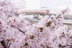 Cherry Blossoms and Tokyo Monorail (703) Tags: pink flower japan tokyo spring  cherryblossom       fullblooming smcpentaxfa50mmf14 pentaxk5