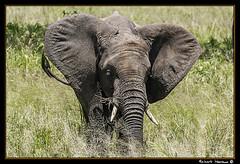 Tarangire 2016 06 (Havaux Photo) Tags: elephant robert rio river tanzania photo lion ostrich leon zebra antelope avestruz giraffe gazelle elefant antilope tarangire elefante riu gacela cebra estru jirafa lleo tarangirenationalpark antilop gasela havaux