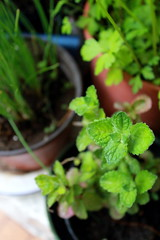 menta (cookinginrosa) Tags: pianta menta allaperto
