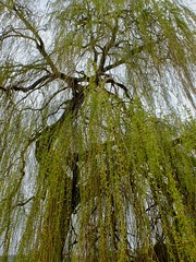 Weeping Willow (velodenz) Tags: uk england naturaleza primavera nature public digital river photography photo shoot image britain south united great natur pussy picture kingdom pic gloucestershire willow photograph valley views fujifilm bud phot footpath avon printemps weeping 1000 springtime x30 glos 1000views saltford bnes banes velodenz