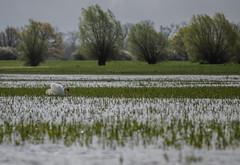 A man on a mission (katrin glaesmann) Tags: bird water animal swan muteswan cygnusolor havelland hckerschwan garz