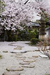 Myouken-ji in Spring  (Patrick Vierthaler) Tags: japan cherry temple japanese spring kyoto blossom central buddhism rack    sakura late frhling nichiren  kirschblte japanische 2015   myokenji  kamigyo kamigyoku  myoukenji  spte  kamigyouku kamigyou