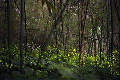 Guanxi Township (Hsinchu County) Rural tourism-3 (Kelvin Wen) Tags: tourism rural nikon bokeh cosina voigtlander hsinchu bamboo firefly guanxi d610  topcor bambuseae