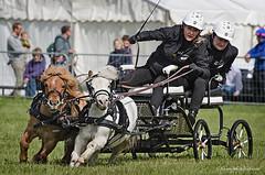 cornering (sure2talk) Tags: driving competition countryfair shetlandponies cornering nikkor70300mmf4556afsifedvr nikond7000 116picturesin201698afourwheeledvehicle