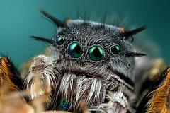 male phidippus mystaceus (Andres Moline) Tags: macro green nature canon eyes florida miami jumper mystaceus 5dsr