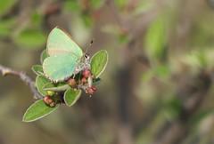 Brombeer-Zipfelfalter [ Green hairstreak ] [ Grnsnabbvinge ] ( Callophrys rubi ) (ritschif) Tags: butterfly natur greenhairstreak callophrysrubi tagfalter grnerzipfelfalter brombeerzipfelfalter dagfjrilar grnsnappvinge