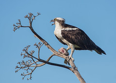 Osprey (PeterBrannon) Tags: fish bird nature bravo florida eating wildlife raptor screaming calling osprey birdofprey pandionhaliaetus pinellascounty