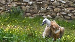 (Ignaciocenteno{photo}) Tags: canon zoo aves 7d buitreleonado buitre carroero ignaciocenteno