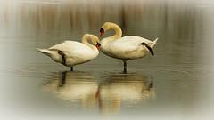 Paso Doble (66Colpi) Tags: lago swan acqua ballo cigni parcodelticino vivaviagaggio